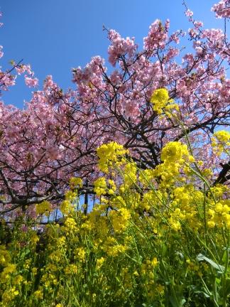 25年桜と菜の花2