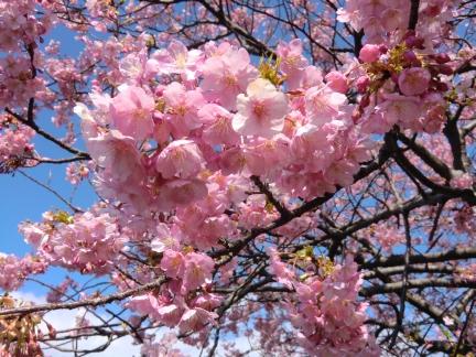 25年満開の桜16