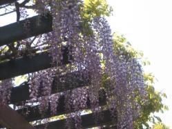 藤の花も見事に咲いていました(*^_^*)