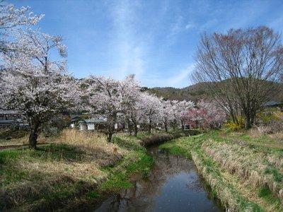 忍野八海の桜並木