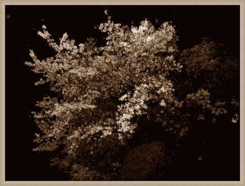 セピア色桜