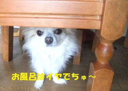 テーブルの下に逃げるソク