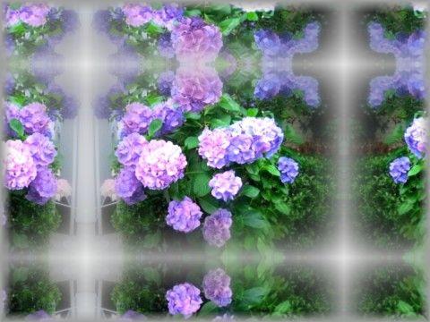 紫陽花の万華鏡