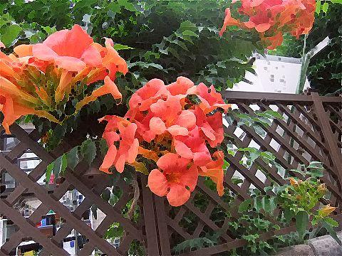 近所のお花