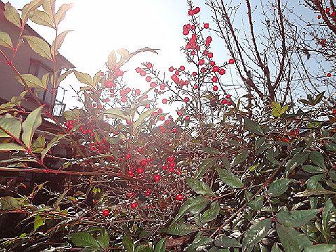 赤い実がなる木