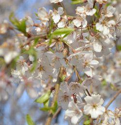 006しだれ桜