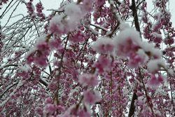 018平成しだれ桜