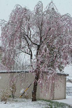 016雪のしだれ桜