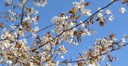 004山桜