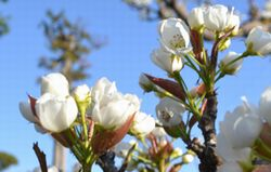004梨の花