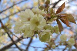 025鬱金桜