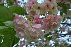 002鬱金桜