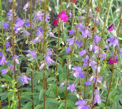 002紫花