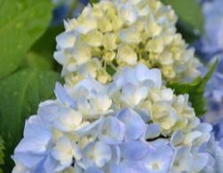 005紫陽花