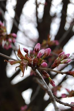 天王桜の蕾