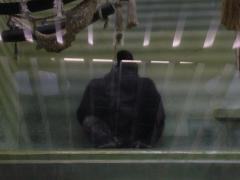 動物園ゴリラ
