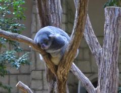 動物園コアラ