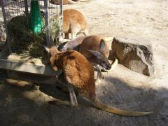 動物園カンガルー