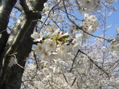 桜2012-05