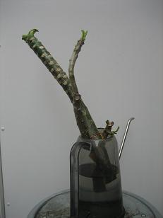 プルメリアの苗木
