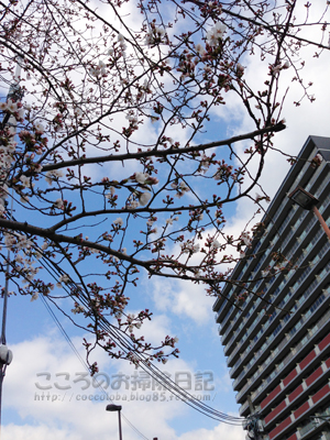 sakura006-03-2013.jpg