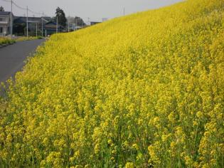 荒川土手の菜の花