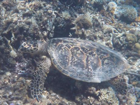 201308ガヒ島カメ