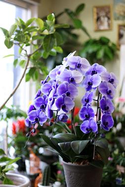 紫の胡蝶蘭「パープルエレガンス」3本立ち
