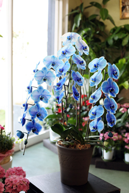 【母の日ギフト】青い胡蝶蘭「ブルーエレガンス」