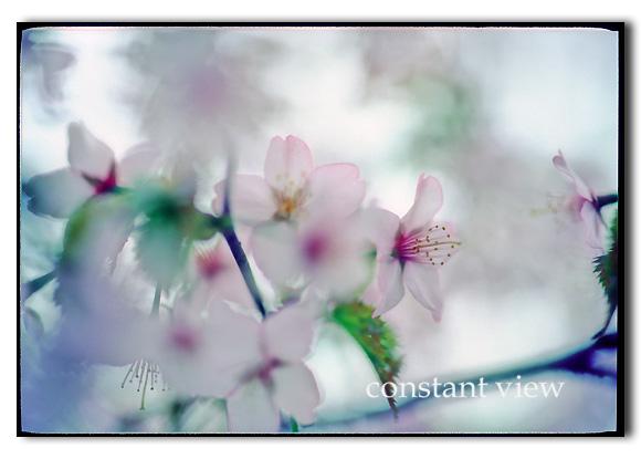 - 桜 -