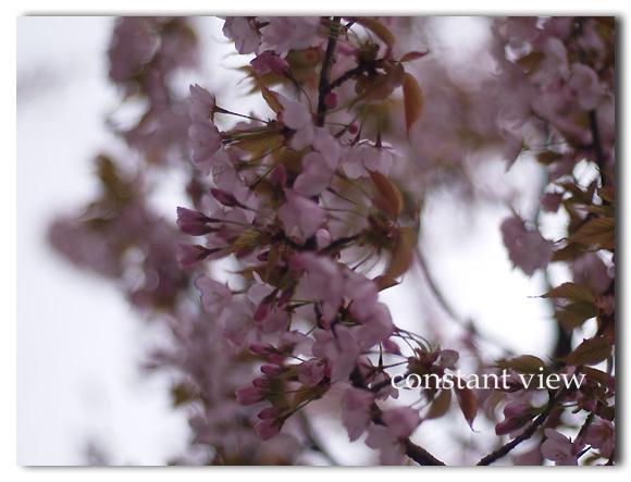 - 桜 Ⅱ -