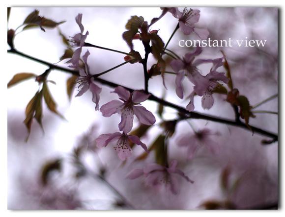 - 桜 Ⅲ -