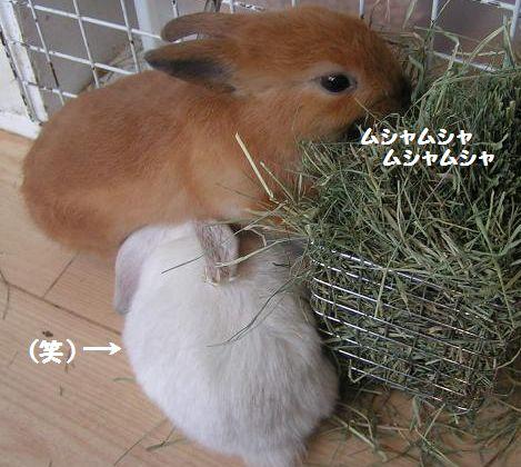 茶色の子ウサギ