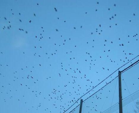 鳥の大群~