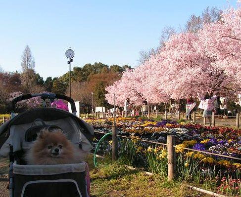 2011年、クゥと桜