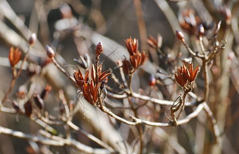 レンゲツツジの冬芽2