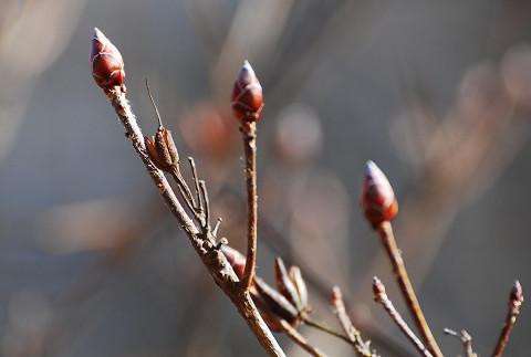 レンゲツツジの冬芽