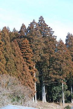 村のスギ巨木