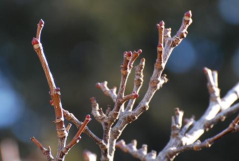 ゴンズイの冬芽は2