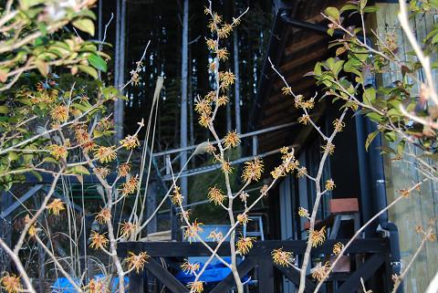 庭のマンサクが咲いた1