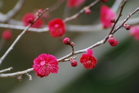 もっと咲いた紅梅