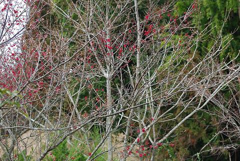 もっと咲いた紅梅2