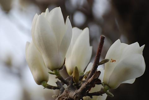 コブシの花アップ