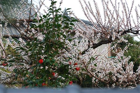 ツバキと白梅の花