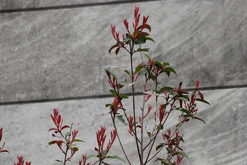 アカメガシが赤い新芽を
