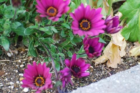 植え込みの花4