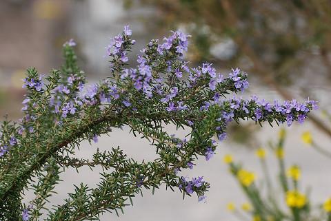 植え込みの花6