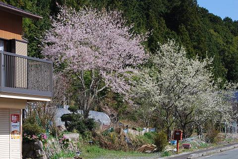 隣りのプラム開花1