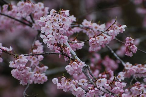 隣りのサクラの花が