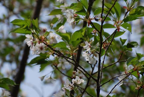 ヤマザクラ緑の葉